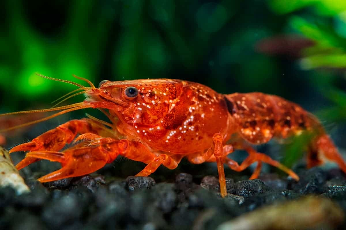 Tips about Freshwater Crayfish Care