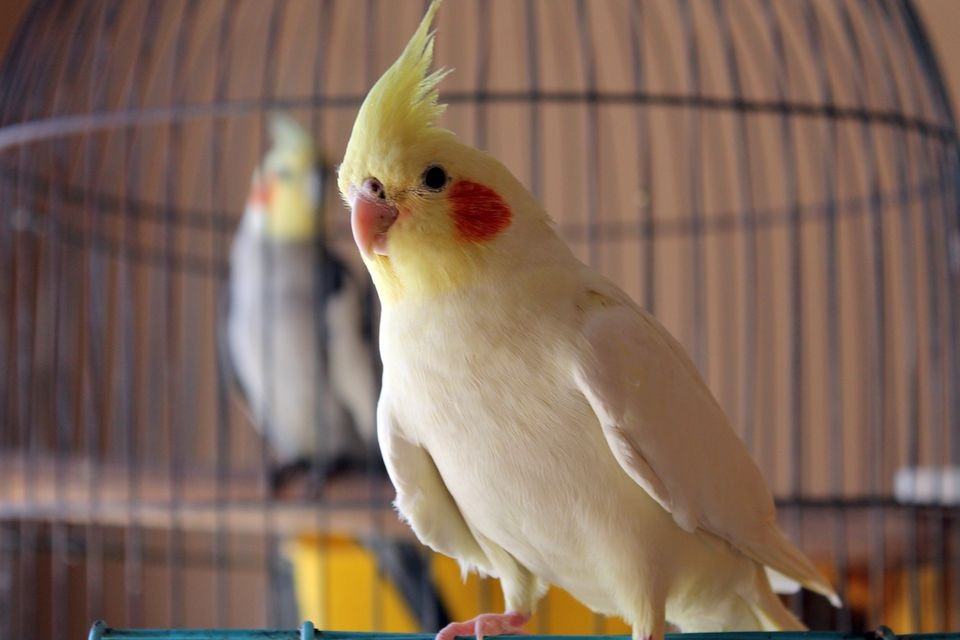 Cockatiels Aren't For Everybody – Here's Why