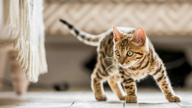 Get a Bengal Kitten for Your Own Home