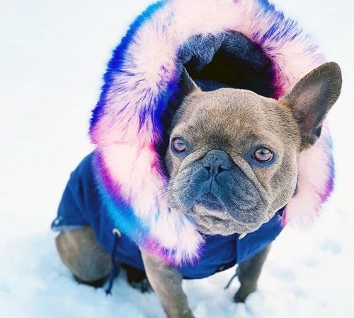 Have a plan to buy a French bulldog? Then read these important factors