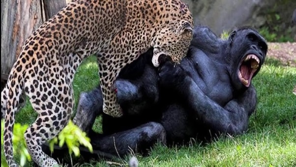 Who will win between Mountain Gorilla vs African leopard?