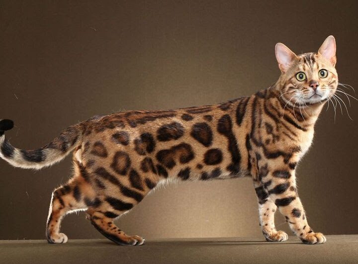 Things to know before buying a Bengal Cat