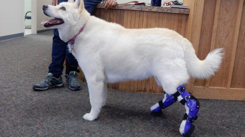 Can Orthopaedic Dog Bracing Help My Pet?