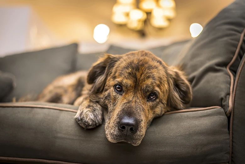 Understand The Needs of Your Dog by Learning if They Are Depressed